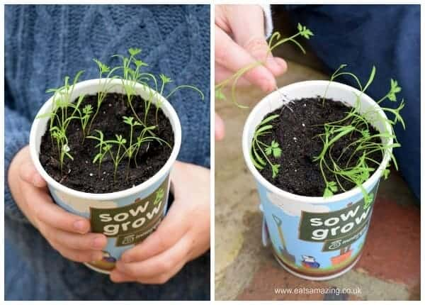 Sow and Grow project - our baby carrot plants - progress report