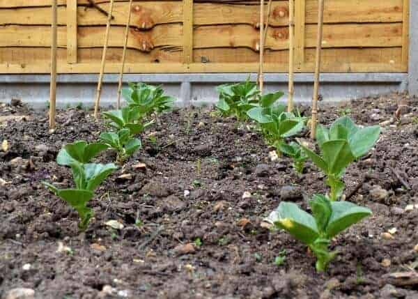 Growing food with kids - broad beans