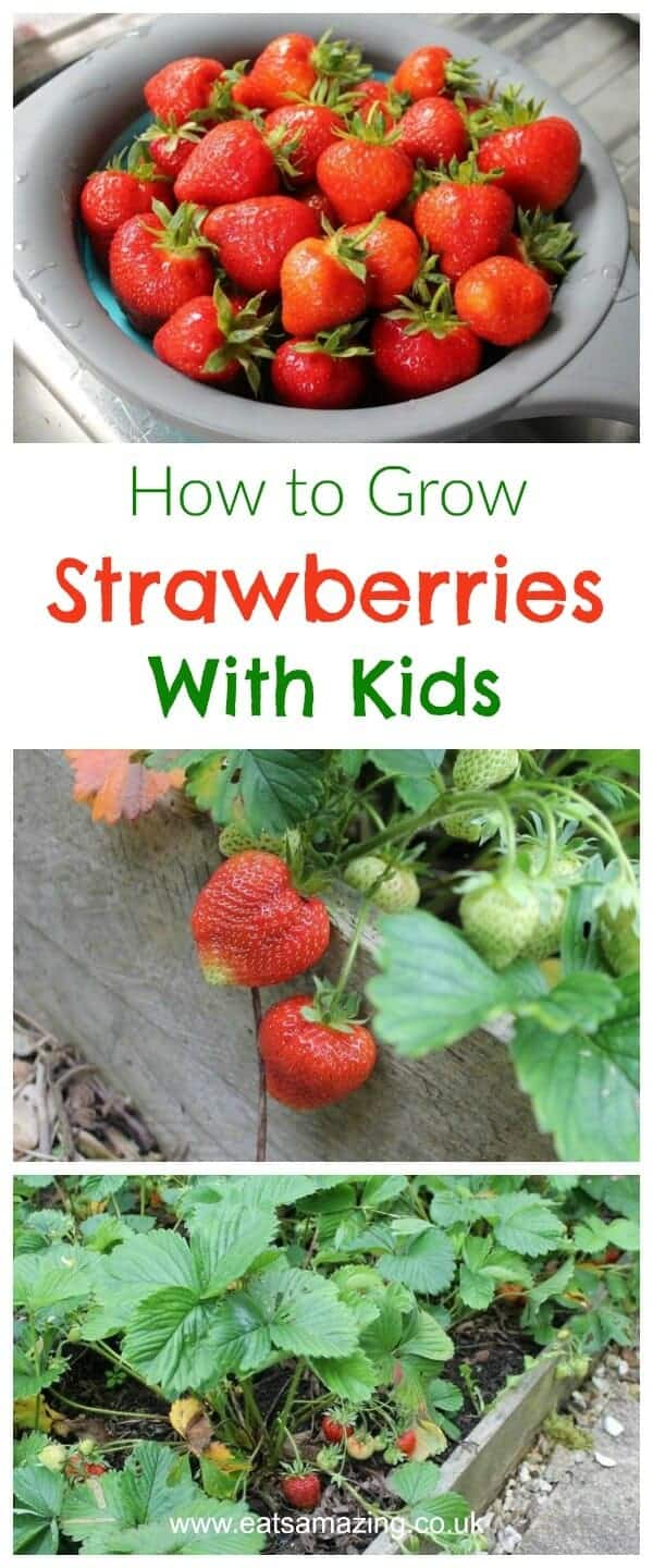 Gardening and growing food with kids -everything you need to know about how to grow strawberries with kids - Eats Amazing UK