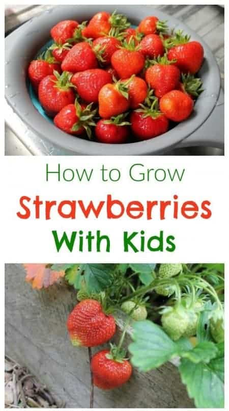 Gardening and growing food with kids - everything you need to know about how to grow strawberries with kids - Eats Amazing
