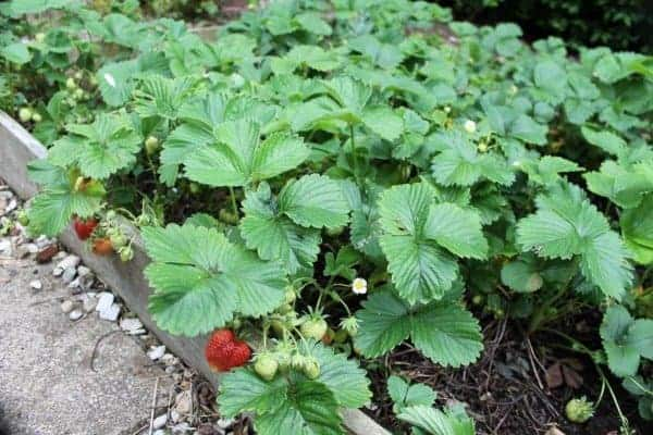 Gardening with kids - How to grow strawberries - guest post from What the Redhead Said for Eats Amazing UK