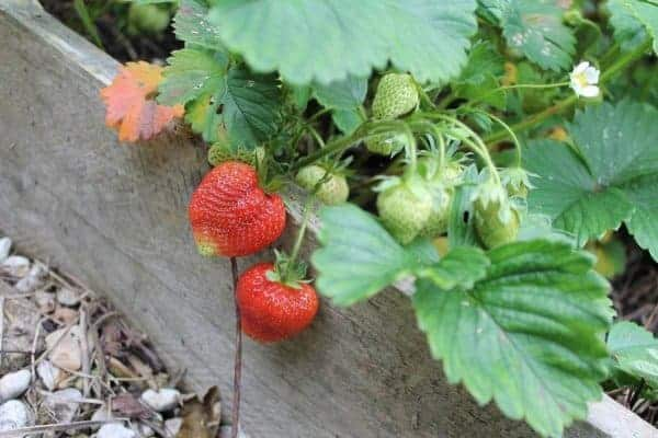 Gardening with kids - How to grow strawberries with kids - guest post from What the Redhead Said for Eats Amazing UK