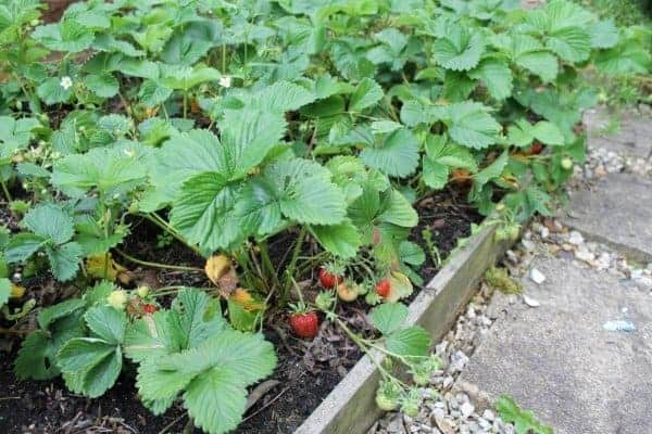 How to grow strawberries with kids - guest post from What the Redhead Said for Eats Amazing UK