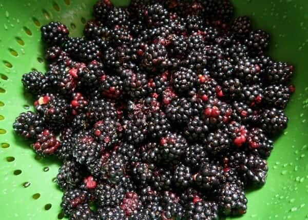The benefits of growing food with kids and how gardening on an family allotment can help encourage healthy eating - Home grown blackberries